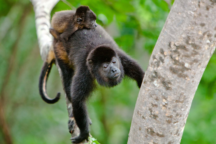 Nicaragua tour slide showing Howler monkey and baby