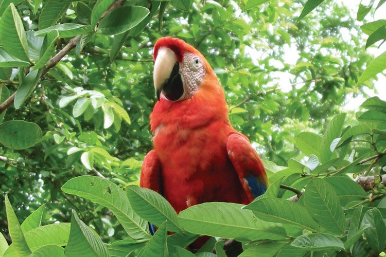 Nicaragua tour photo of a Lapa red parrot in a tree