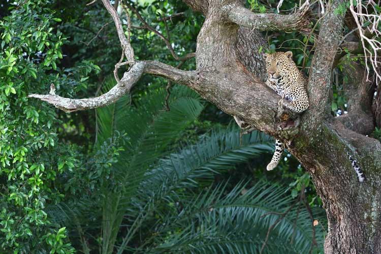 Botswana safari tour image of Leopard lounging in tree