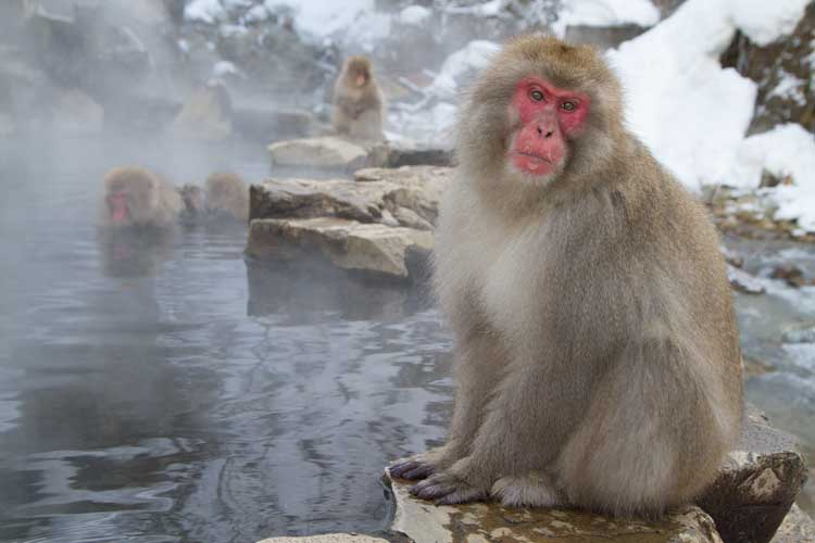 Japan winter wildlife tour photo of Japanese Macaque sitting near hot springs