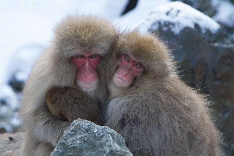 Japan expedition image of two Japanese Macaques embracing