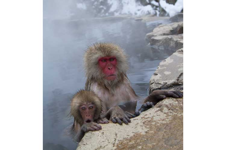 Japan tours picture of a mother Japanese Macaque and her baby in hot springs