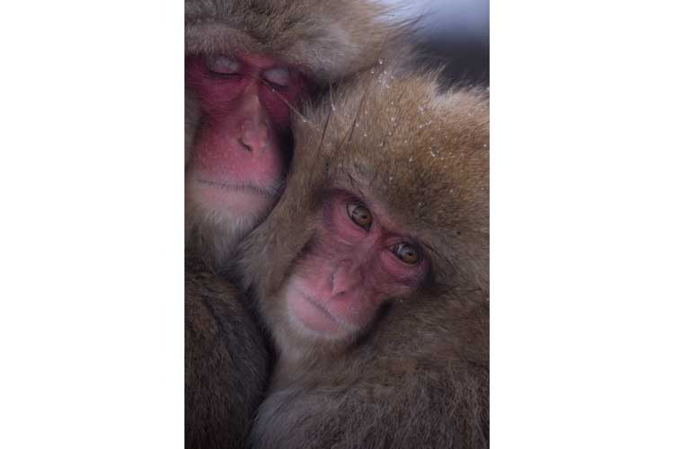 Japan wildlife tour image of two Japanese Macaques huddled together