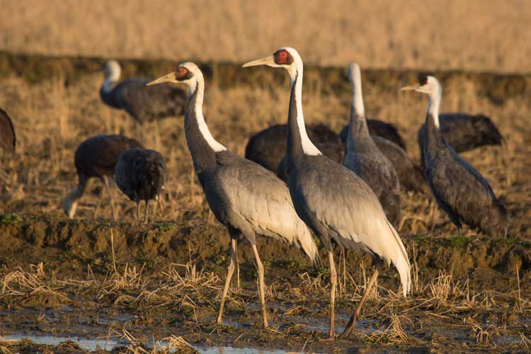 Japan wildlife tour photo of Hooded Cranes in Arasaki