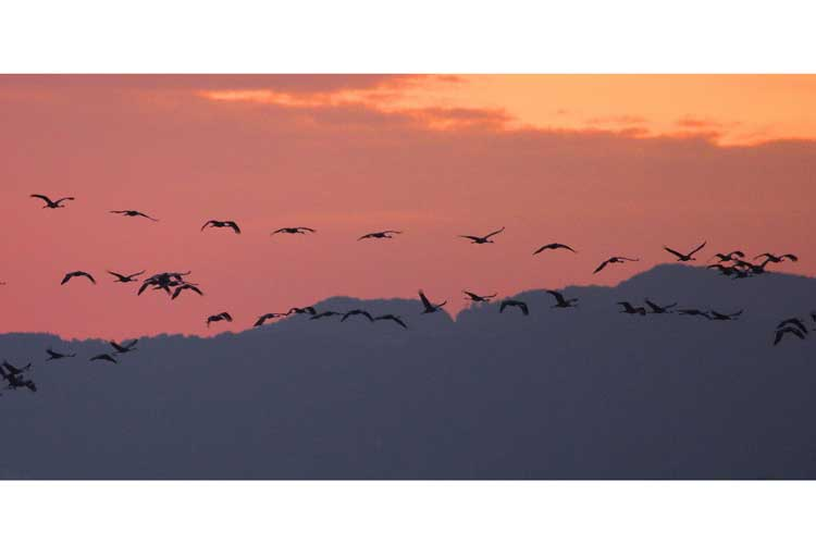 Japan wildlife tours photo of Hooded Cranes flying at sunset