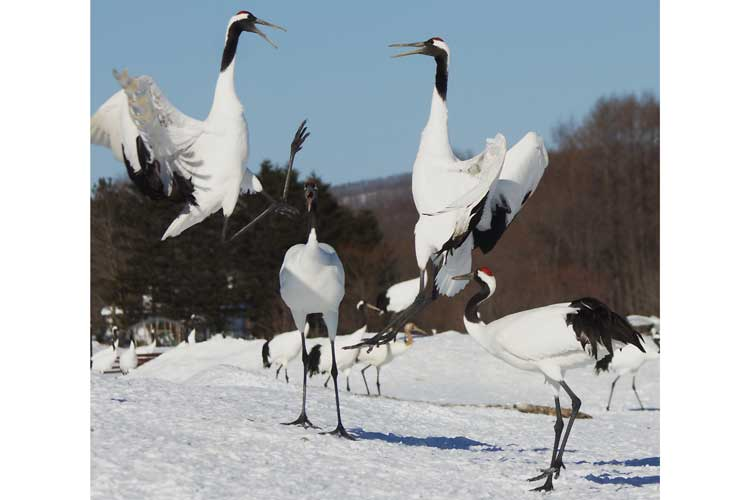 Japan winter wildlife tour image of Red-crowned Cranes in a courtship dance