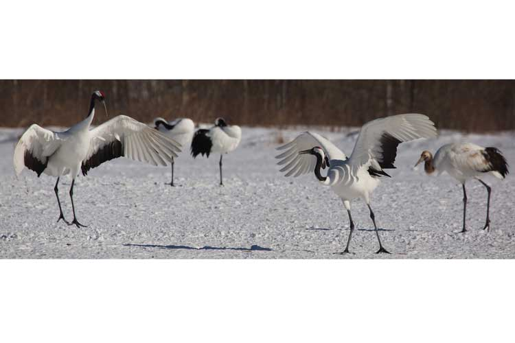 Japan wildlife tours image of Red-crowned Cranes in courtship ritual