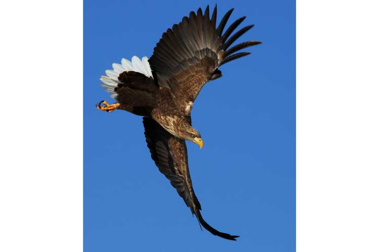 Japan birding tours image of a White-tailed Eagle swooping through the air