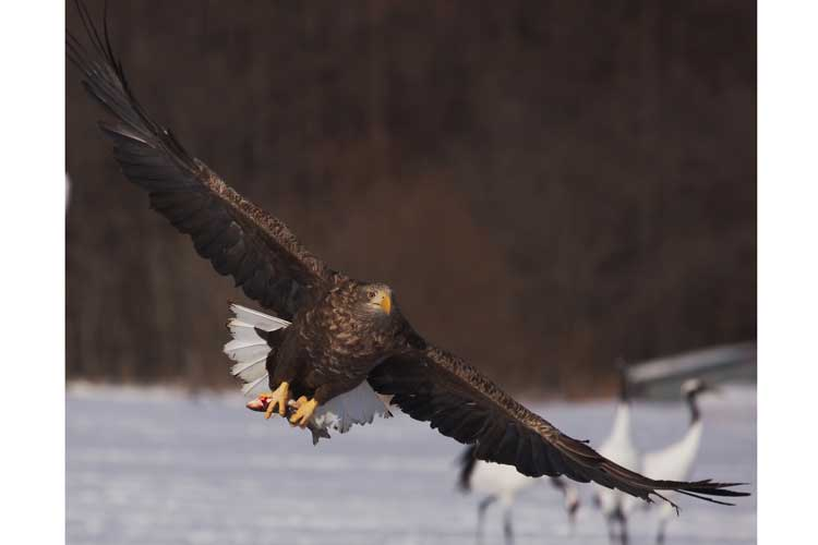 Japan birdwatching photo of White-tailed Eagle in flight with fish