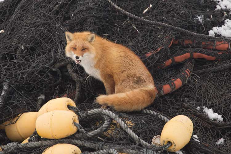 Japan tours image of a Red Fox sitting on a fishing net