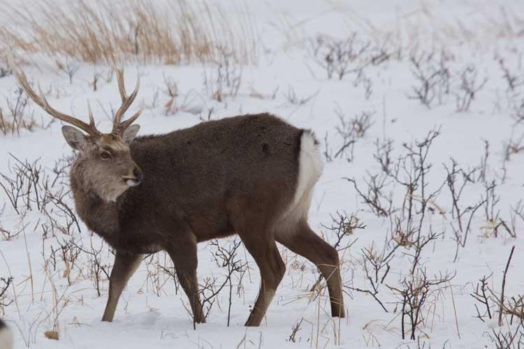 Japan wildlife tours photo of Sika Deer in snow