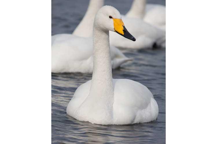 Japan birding tour photo of Whooper Swan