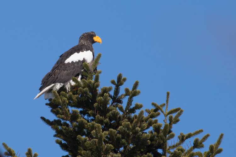 Japan expedition image of a Steller's Sea Eagle in a treetop