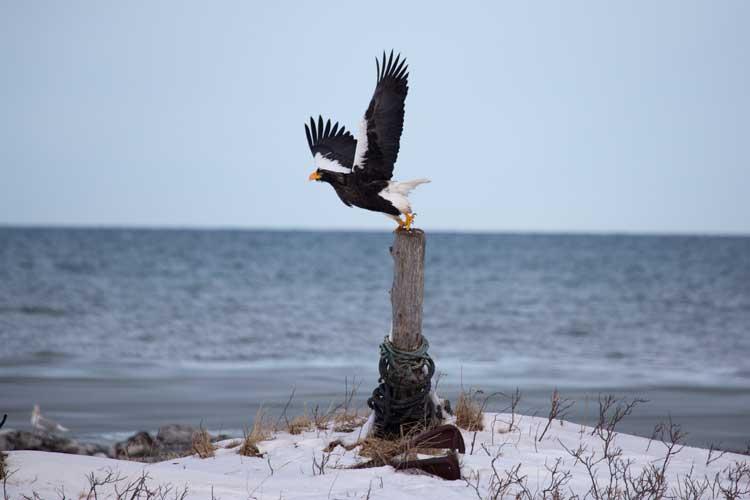 Japan wildlife tour photo of a Steller's Sea Eagle