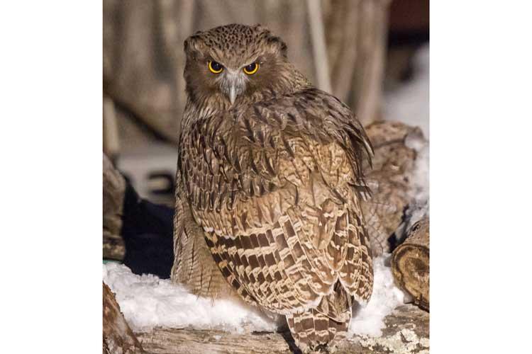 Japan wildlife tour photo of Blakiston's Fish Owl