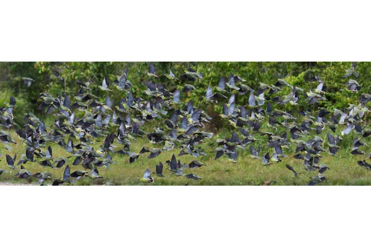 Congo expedition image of African Green Pigeon flock