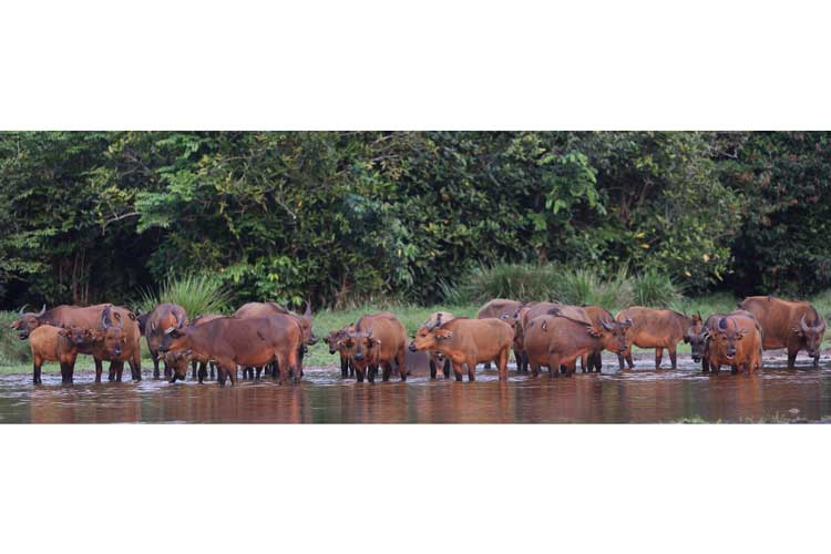 Congo expedition photo showing a herd of Forest Buffalo