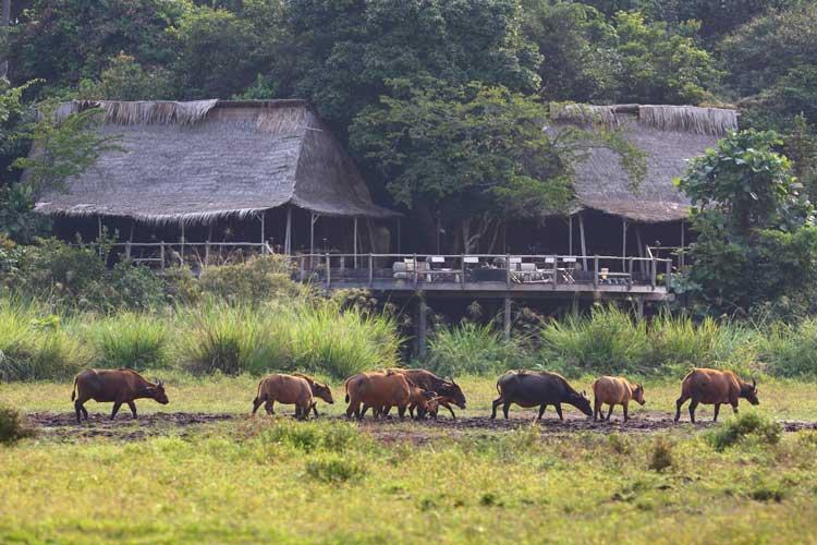 Congo gorilla safaris photo of a Forest Buffalo herd at Lango bai