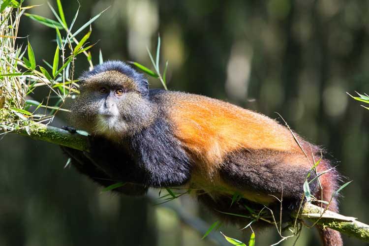 Rwanda safaris image of Golden Monkey