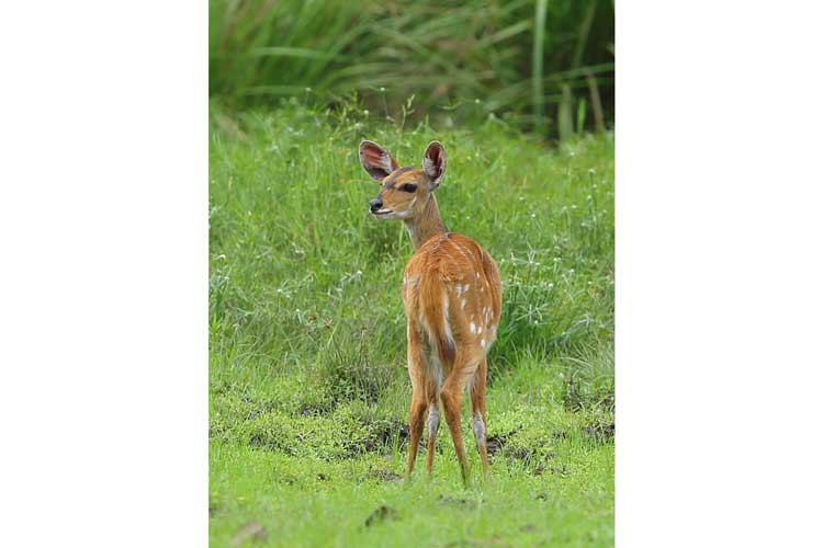 Congo safaris image of a Harnessed Bushbuck