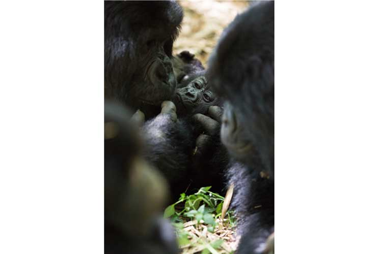 Rwanda gorilla safari photo of Mountain Gorillas