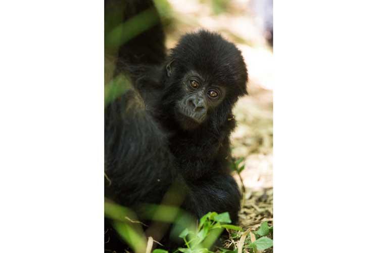 Rwanda gorilla safari image of baby Mountain Gorilla
