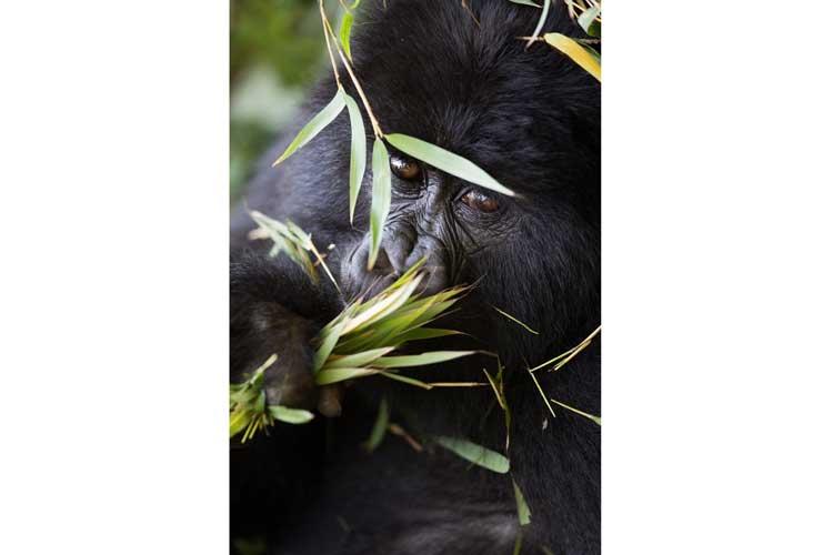 Gorilla treks image of Hirwa Mountain Gorilla