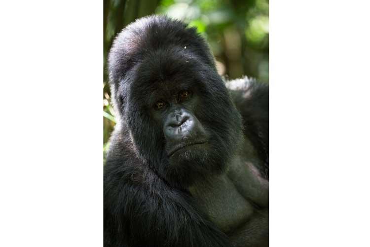 Rwanda gorilla safaris portrait of Hirwa Silverback Gorilla