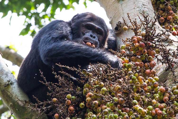 Gorilla treks image of Chimpanzee in fig tree
