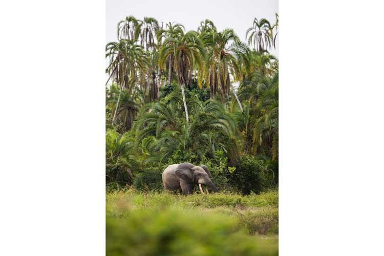 Congo gorilla safari image of a Forest Elephant near Lango