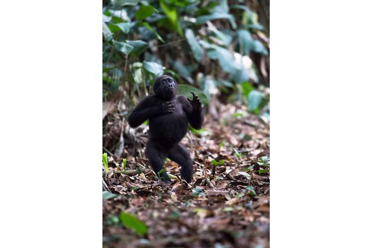 Congo safari image of a Western Lowland Gorilla in the Congo