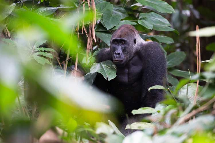 Congo expedition image showing a male Western Lowland Gorilla in the forest in Congo