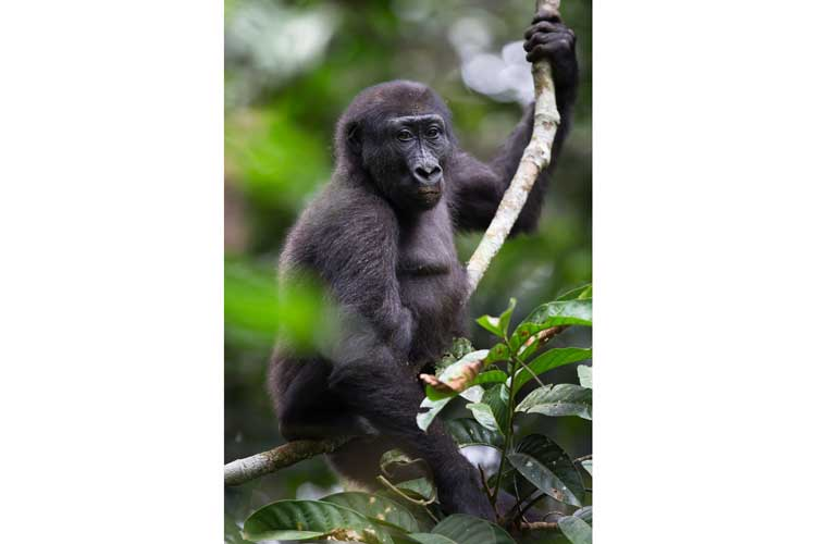 Congo safaris image of a Western Lowland Gorilla on a tree branch in the Congo