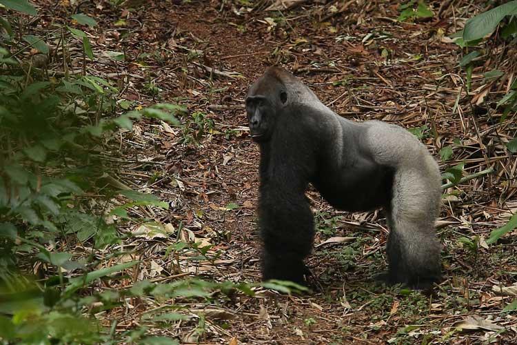 Congo gorilla safari image of Western Lowland Gorilla Silverback