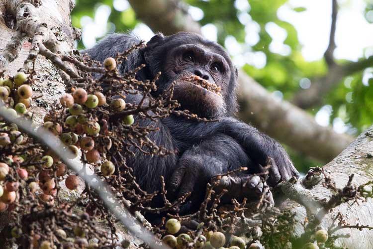 Rwanda gorilla safaris image of Chimpanzee