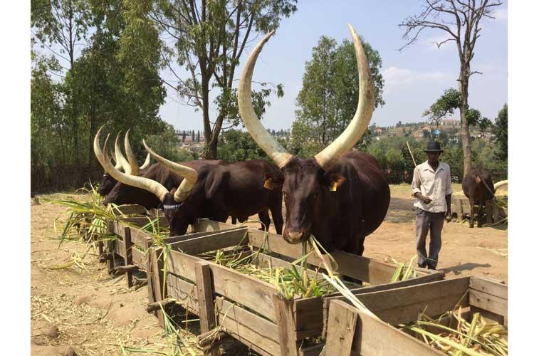 Rwanda safaris photo of royal cows at Kings Palace Museum