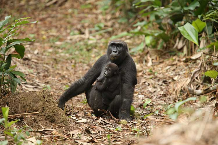Congo safari photo of a mother and baby Western Lowland Gorilla