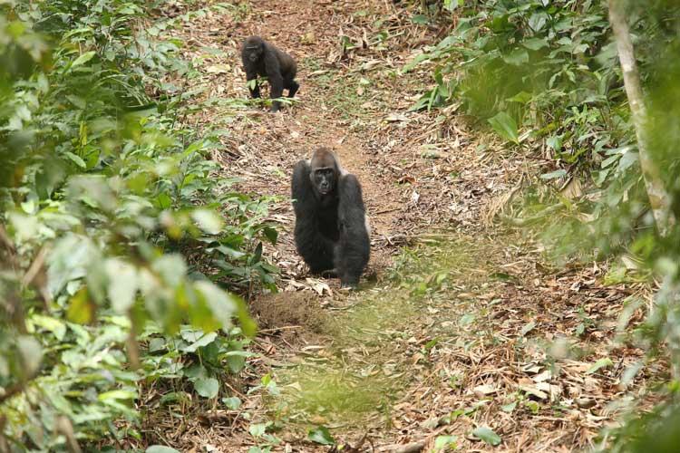 Congo gorilla safaris photos of Western Lowland Gorillas on forest path