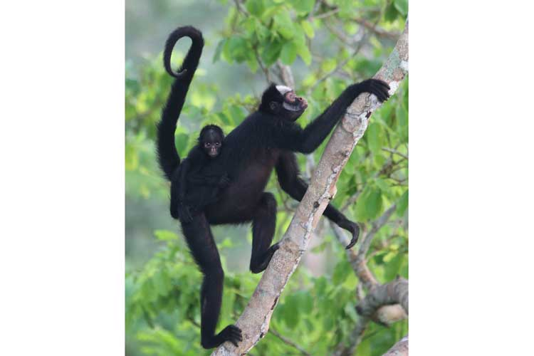 Brazil Tour photo of White whiskered Spider Monkey female with baby