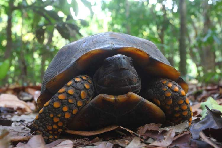 Brazil Tour image of Yellow footed Tortoise