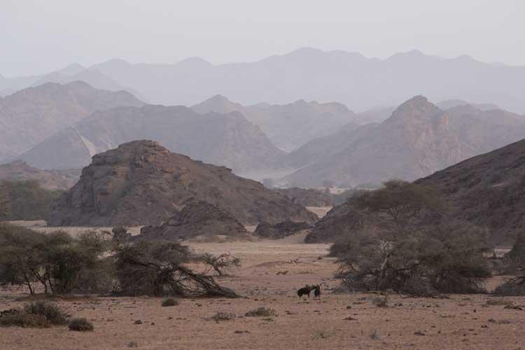 Namibia safari tour photo of brown hyena playing at dawn near Hoanib Skeleton Coast Camp