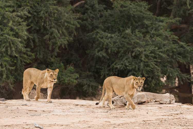Namibia wildlife safari tour image of desert lionness at hoanib river