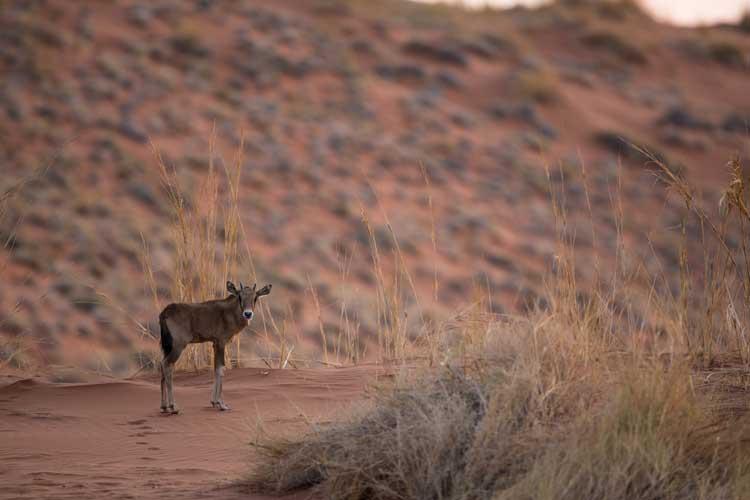 Namibia safari tour image of baby gemsbok at sunset in Namibrand