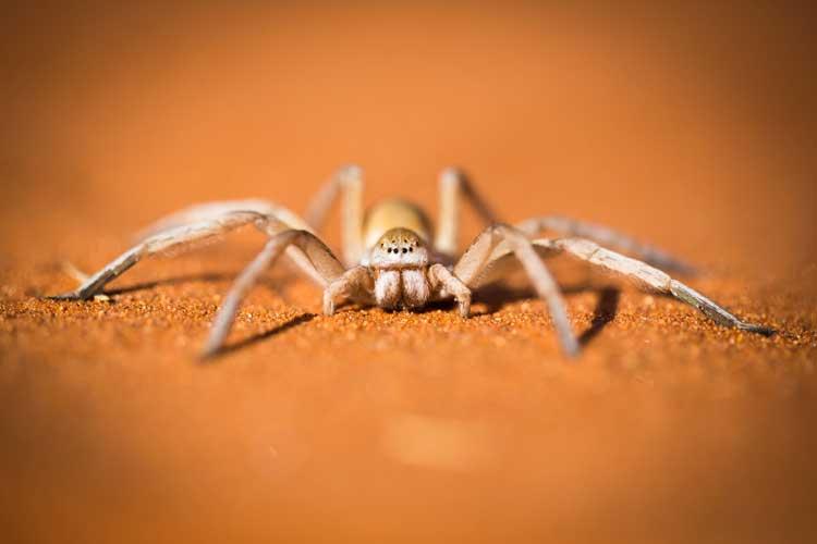 Namibia wildlife safari photo of dancing white lady spider in Namib