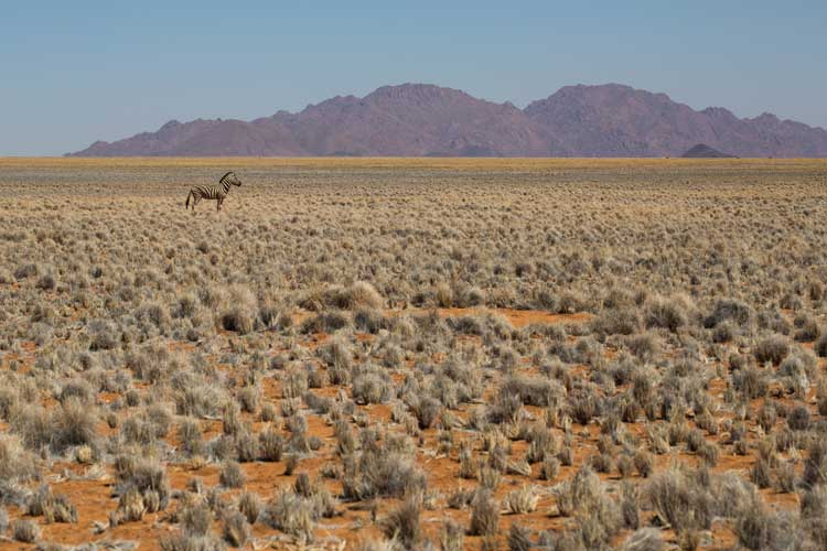 Namibia tour image of zebra and fairy circle in Namib desert