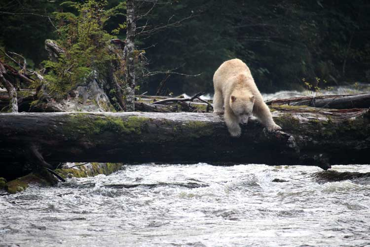 Canada spirit bear tours image of Kermode Bear