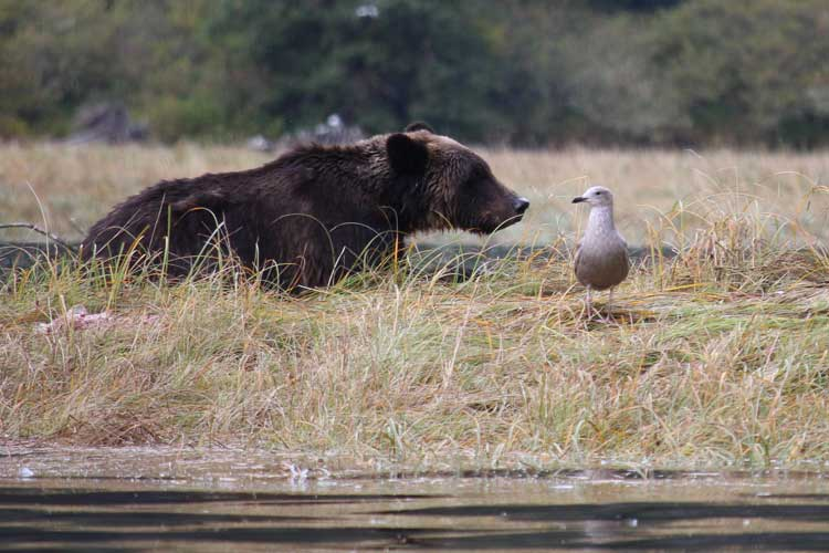 Canada spirit bear tours image of Grizzly Bear in Massey Channel