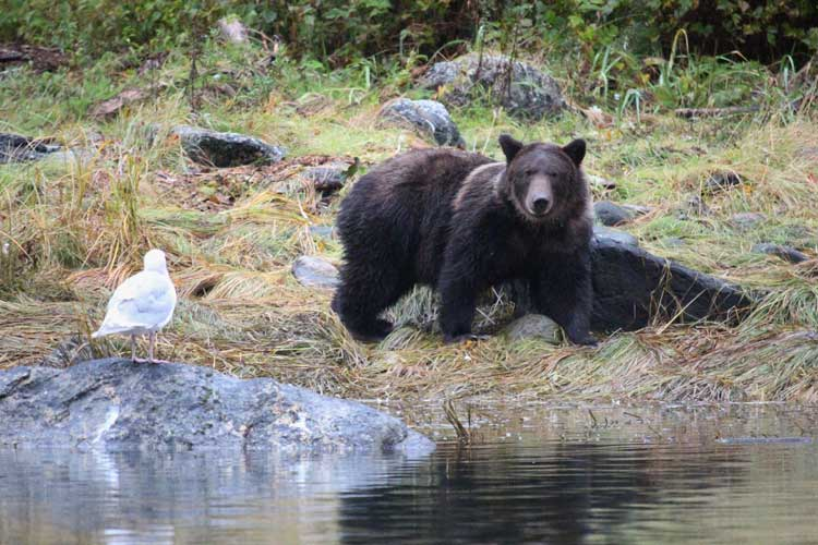 Great Bear Rainforest image of a Grizzly Bear