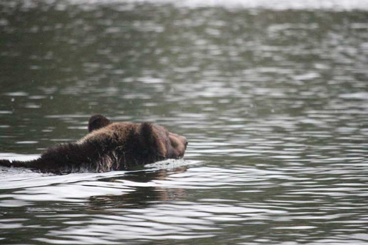 Great Bear Rainforest Spirit Bears Tour image of Grizzly Bear swimming