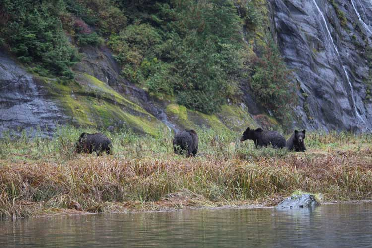 Canada Travel image of Grizzly Bears on shore
